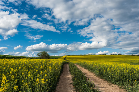 rapeseed: The road between flowering rapeseed fields, beautiful blue sky Stock Photo