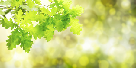 Nature green summer background with oak branch 스톡 콘텐츠