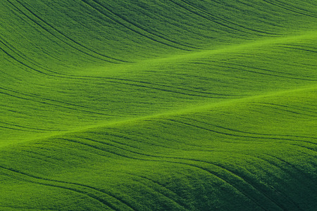 Green hills of young wheat, agricultural landscape