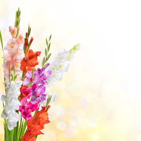 solemn: Beautiful floral nature background witn gladiolus for solemn day