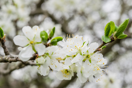 fragrant: Soft floral background with fragrant cherry flowers, selective focus