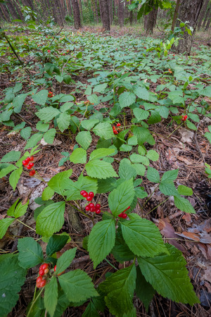 glade: Glade with berries in woods, summer landscape