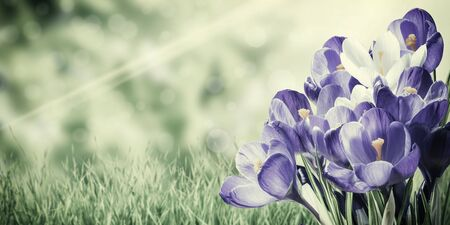 Vintage spring crocus flowers, floral background. Nature backdrop on lomography style Stock Photo