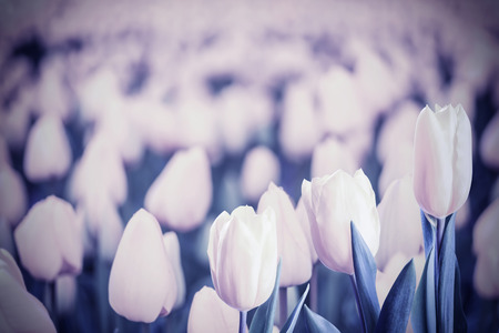 lomography: Vintage floral background with tulip flowers. Retro photo filter