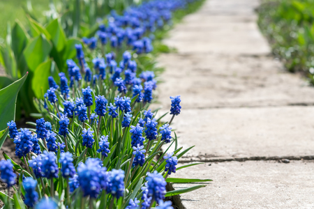 Soft floral background. Blue flowers in spring day, selective focus Stock Photo