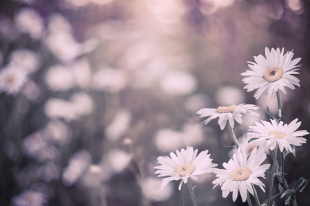Soft vintage floral background, beautiful chamomile flowers, selective focus