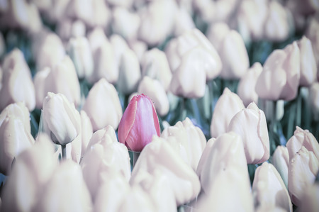 Vintage spring background with tulip flowers, traditional Holland view, selective focus. Film filter Stock Photo