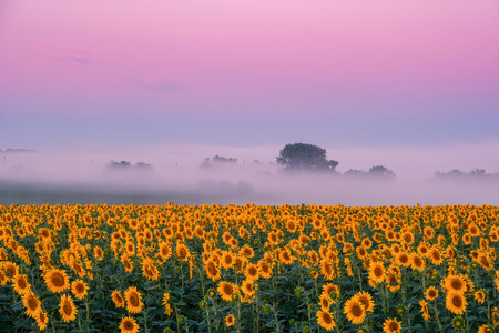 Morning landscape with sunflowers field and beautiful pink sky, agricultural background Stock Photo