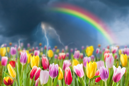 Spring landscape with tulip meadow, rainbo and lightning in sky, selective focus.