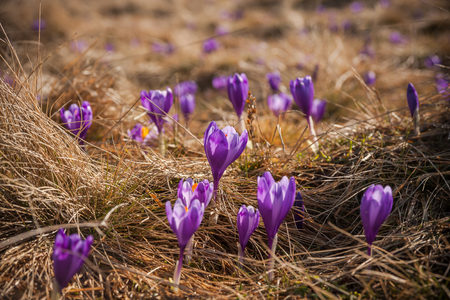 Spring crocus flowers in grass, nature soft background, selective focus Imagens