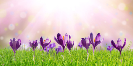 Spring nature background with crocus flowers, copy space for holiday design