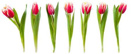 Red tulip flowers isolated on white background, for your creative design and decoration Banque d'images