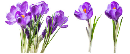 Purple crocus flowers isolated on white background, for your creative design and decoration