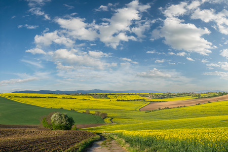 Spring agricultural landscape with big rape fields on hill, farmland