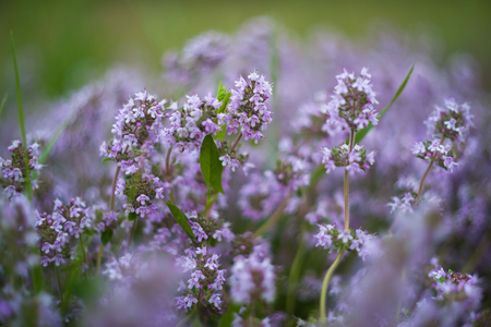 Wild thyme flowers on sunrise, spring nature background with morning on grassland, selective focus