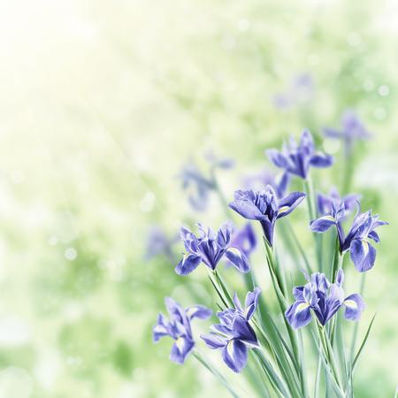 Spring nature background with beautiful iris flowers. Vintage stylization, retro film filter 版權商用圖片