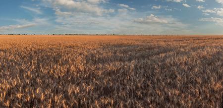 Paesaggio agricolo estivo con campo di grano soleggiato, bel cielo sopra terreni agricoli, panorama