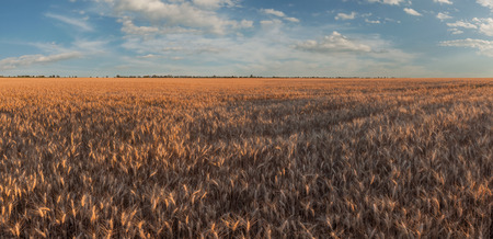 Summer agricultural landscape with sunny wheat field, beautiful sky above farmland, panorama
