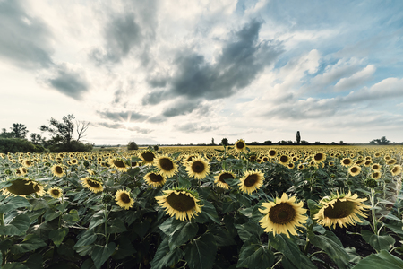 Majestic agricultural landscape, farming view with sunflowers field and beautiful sky. Vintage stylization, retro film filter