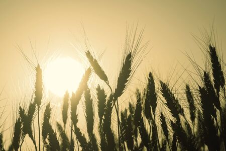Silhouetts wheat in background of setting sun, agricultural landscape, sunset. Selective focus. Vintage stylization, retro film filter