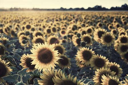 Agricultural background with sunflowers, farming landscape with field and beautiful sky, selective focus. Vintage stylization, retro film filter