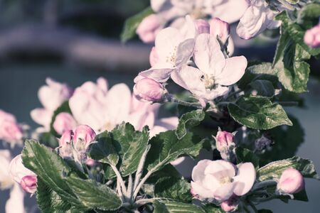 Soft nature floral background with blooming apple branch, selective focus. Retro stylization, vintage film filter Фото со стока