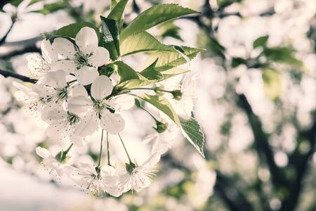 Soft nature floral background with blooming cherry branch, selective focus. Retro stylization, vintage film filter