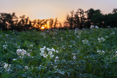 Agricultural landscape with potatoes field on sunset, farmland