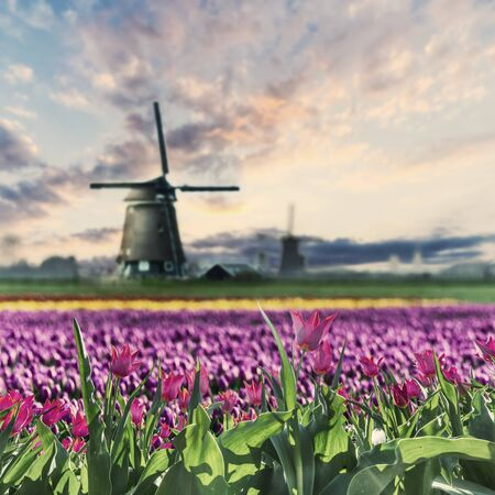 Traditional Holland landscape with field of red tulip flowers and windmills, Netherlands. Vintave stylization, retro film filter