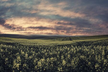 Spring agricultural landscape with big rape fields on hill, farmland. Majestic sunset with red clouds in sky. Vintage stylization, retro film filter