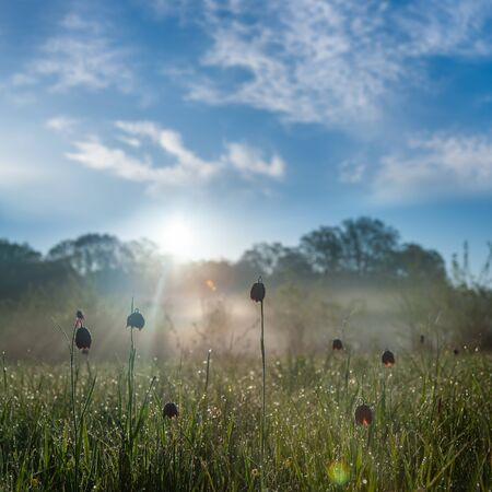 Spring landscape with wild tulip on meadow and dew on grass. Sunny morning, selective focus