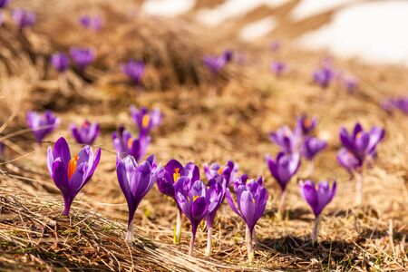 Nature background with wild crocus flowers in grass; selective focus. Spring banner for your design Фото со стока