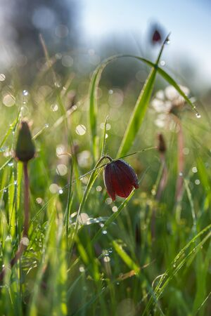 Nature background with wild tulip flowers in grass; selective focus. Spring banner for your design