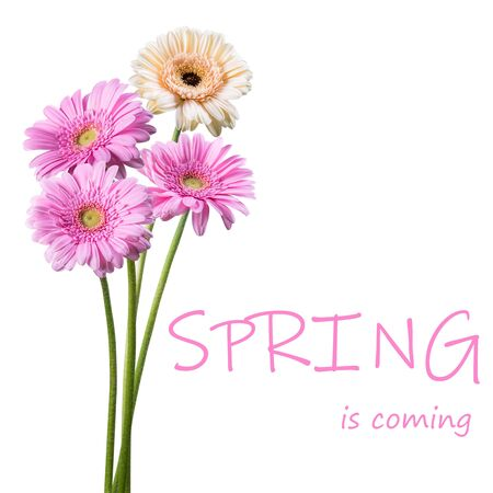 Beautiful spring gerbera flowers isolated on white background, for nature creative design. Lettering Spring is coming