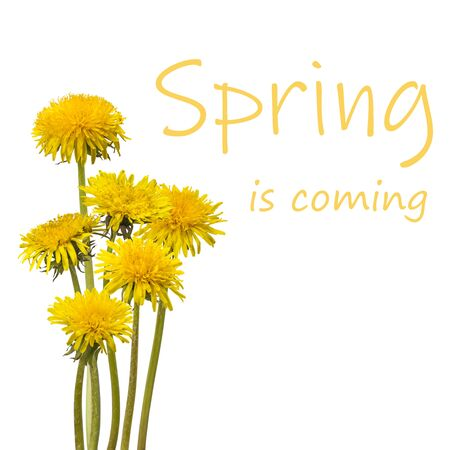 Beautiful spring dandelion flowers isolated on white background, for nature creative design. Lettering Spring is coming