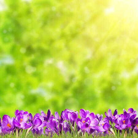 Colorful spring background with crocus flowers. Saffron purple nature backdrop Фото со стока