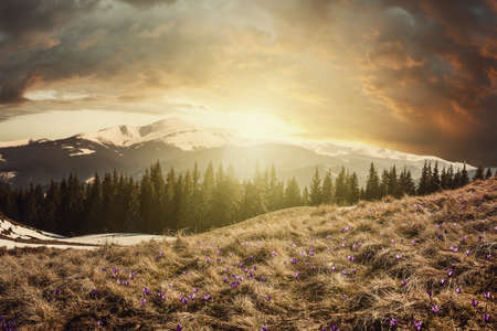 Beautiful spring morning with crocus flowers on highland meadow, majestic sunrise on mountains landscape. Vintage stylization, retro film filter