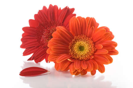 Two gerbera daisy flowers on white background Stock Photo - 9372146