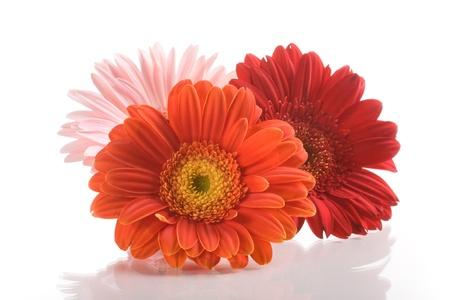 Three gerbera daisy flowers on white background