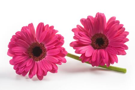 Two gerbera daisy flowers on white background