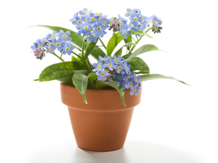 potted plant: Forget-Me-Not small beautiful flowers in flower pot Stock Photo