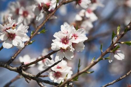 Almond tree blossom in winter, Majorca, Spain Stock Photo