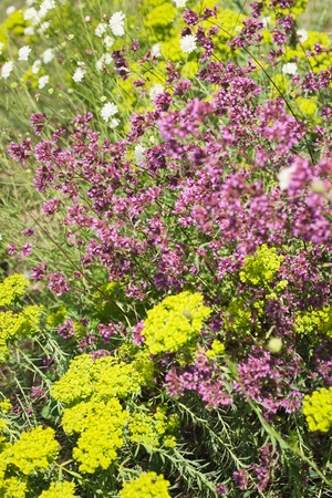 Yellow yarrow and Aquilegia in a field Stock Photo - 9428411