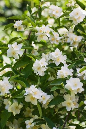 jasmine flower: White jasmine flowers in summer garden, close-up