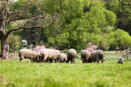 Sheep and lambs grazing in field photo