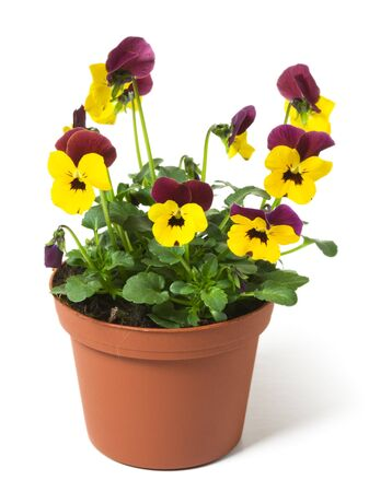 plastik: Flower pot with  pansies on white background