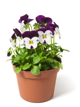 Flower pot with  pansies on white background