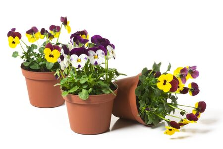 Three flower pots with  pansies on white background Stock Photo