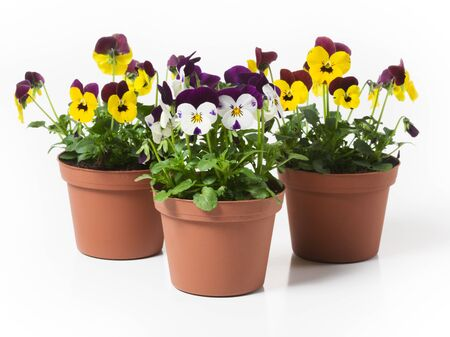 Three flower pots with  pansies on white background photo