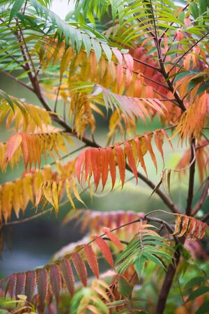 staghorn: Fall colors of staghorn sumac, rhus tuphina, leaves Stock Photo